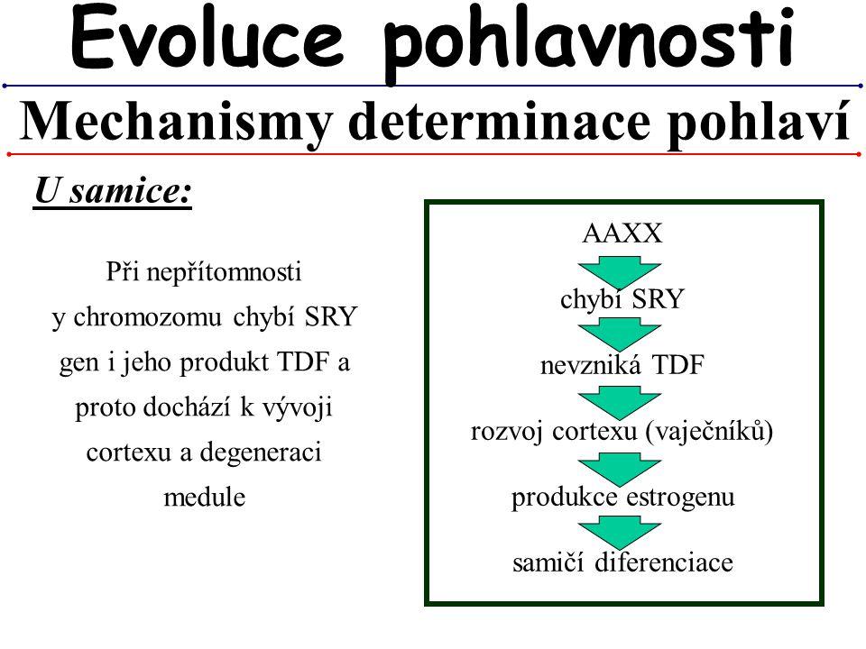Mechanismy determinace pohlaví Evoluce pohlavnosti U samice: Při nepřítomnosti y chromozomu chybí SRY gen i jeho produkt TDF a proto dochází k vývoji
