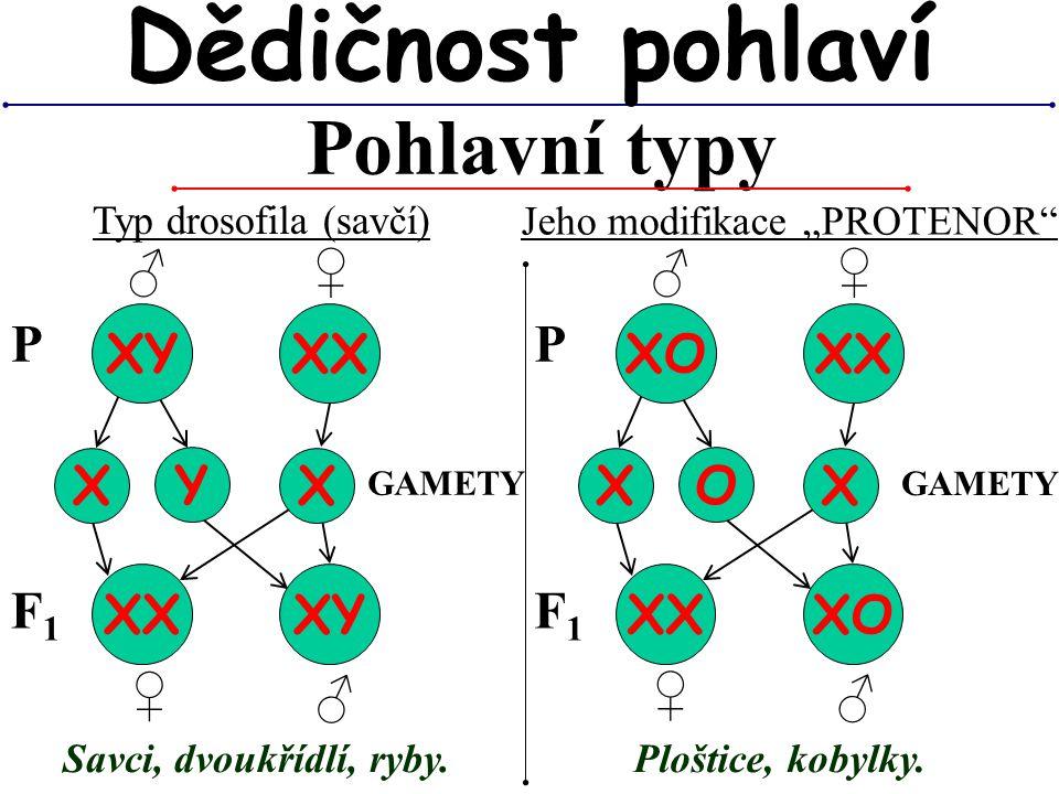 """♂ Pohlavní typy Dědičnost pohlaví Typ drosofila (savčí) XY XX X GAMETY P Y X ♂ ♀ ♀ XX XY Jeho modifikace """"PROTENOR"""" F1F1 Savci, dvoukřídlí, ryby. XO X"""