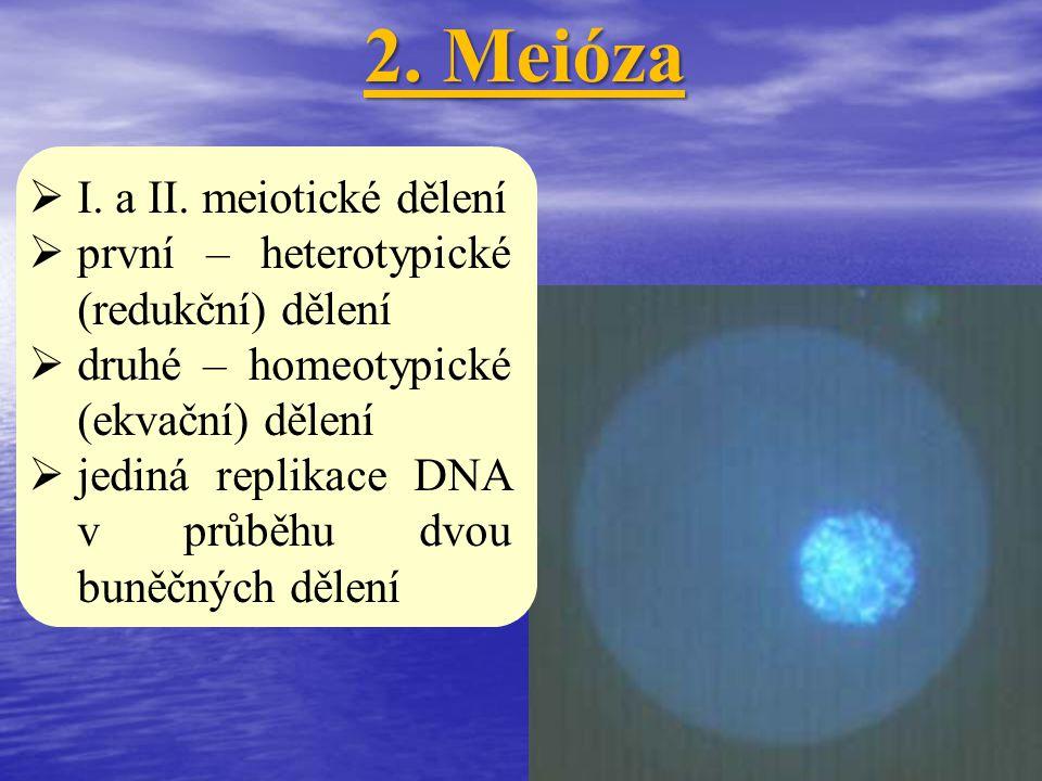 2. Meióza I. a II. meiotické dělení první – heterotypické (redukční) dělení druhé – homeotypické (ekvační) dělení jediná replikace DNA v průběhu dvou