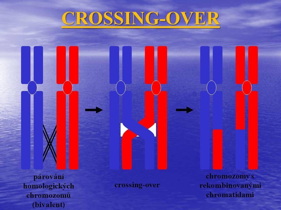 párování homologických chromozomů (bivalent) crossing-over chromozomy s rekombinovanými chromatidami CROSSING-OVER