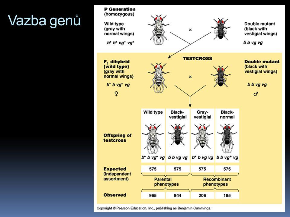 Vazba genů  z tohoto křížení (b + b vg + vg x bbvgvg) by mělo podle Mendelových zákonů vzniknout potomstvo v poměru 1:1:1:1 tedy:  ¼ šedých s normál