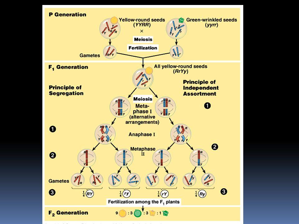 Nezávislá segregace chromosomů a crossing-over produkují genetické rekombinanty  protože by v našem pokusu byla polovina (50%) parentálních typů a po