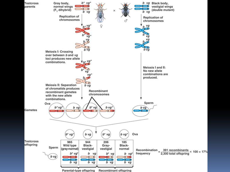 Vazba genů  kdyby ležely geny v Morganově pokusu opravdu těsně vedle sebe, vznikla by kombinace 1:1:0:0  v Morganově pokusu bylo přibližně 17% rekom