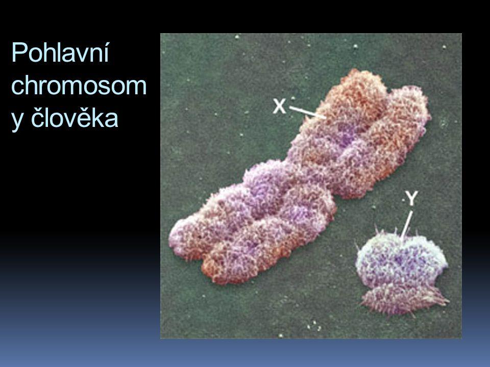 Pohlavní chromosomy  člověk: polovina spermií je 22X a polovina spermií 22Y; všechny oocyty jsou 22X  anatomicky je pohlaví embrya odlišitelné ve st