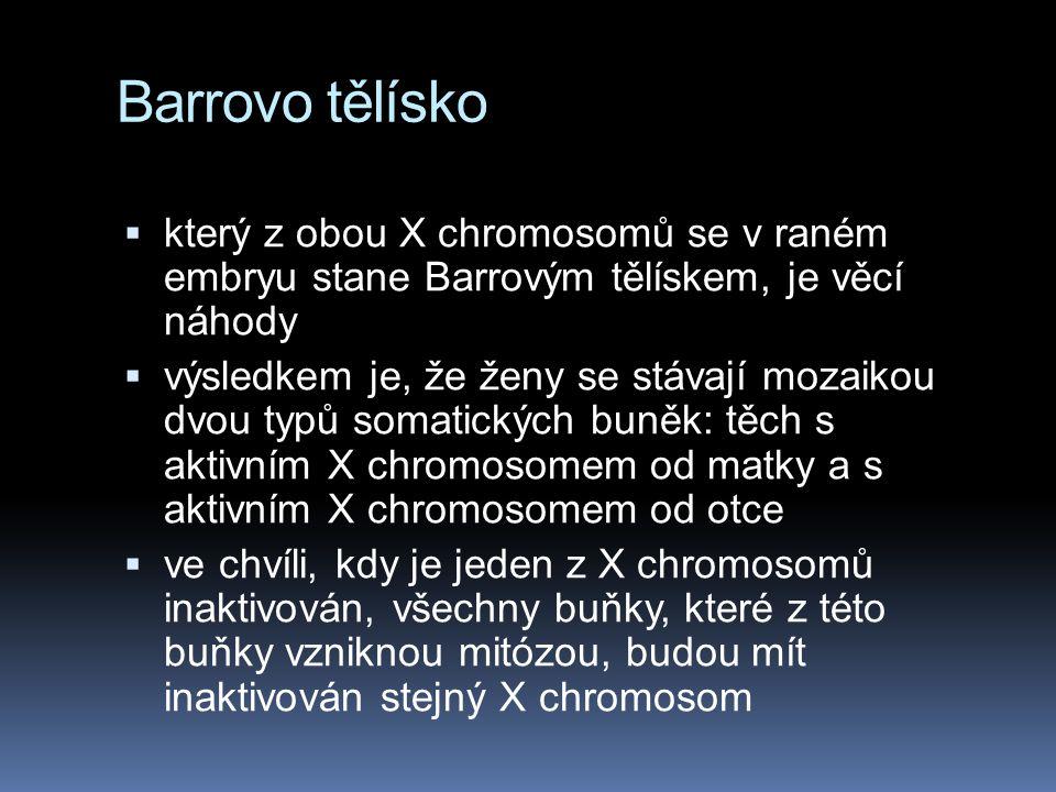X inaktivace u savčích samiček  ačkoli mají všechny samičky savců dva X chromosomy, jeden z nich bývá inaktivován během embryonálního vývoje  výsled