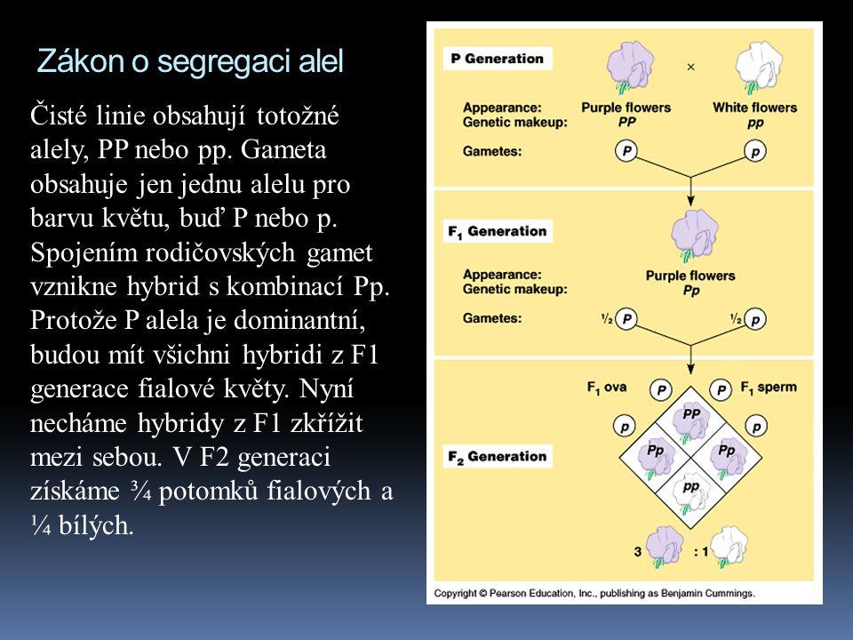 """""""Mendelovy zákony"""" (Mendel žádné zákony nikdy neformuloval)  Dvě alely pro každou dědičnou vlastnost segregují (oddělují se od sebe) během vzniku gam"""