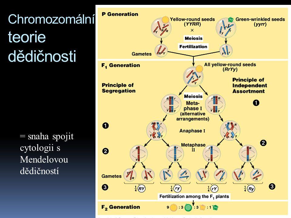 Spojení mendelismu a chování chromosomů  se zlepšováním parametrů mikroskopů byla objevena  mitóza 1875  meióza 1890  v roce 1900 v souvislosti se