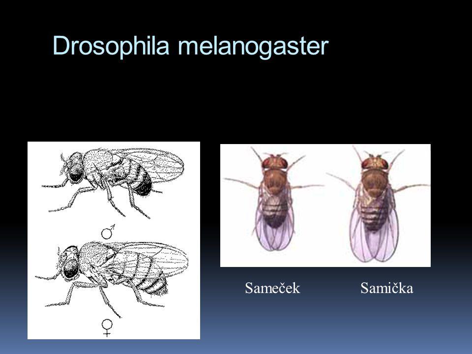 Thomas Hunt Morgan  užívá Drosophila melanogaster  mnoho potomků (cca stovky)  laciný chov  krátká generační doba (14 dní)  relativně snadné pozo