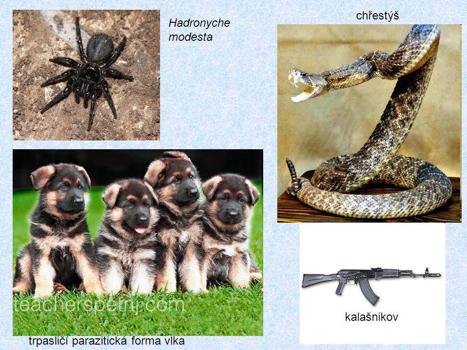 Hadronyche modesta chřestýš trpasličí parazitická forma vlka kalašnikov