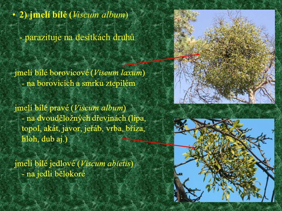 jmelí bílé borovicové (Viscum laxum) - na borovicích a smrku ztepilém jmelí bílé pravé (Viscum album) - na dvouděložných dřevinách (lípa, topol, akát,