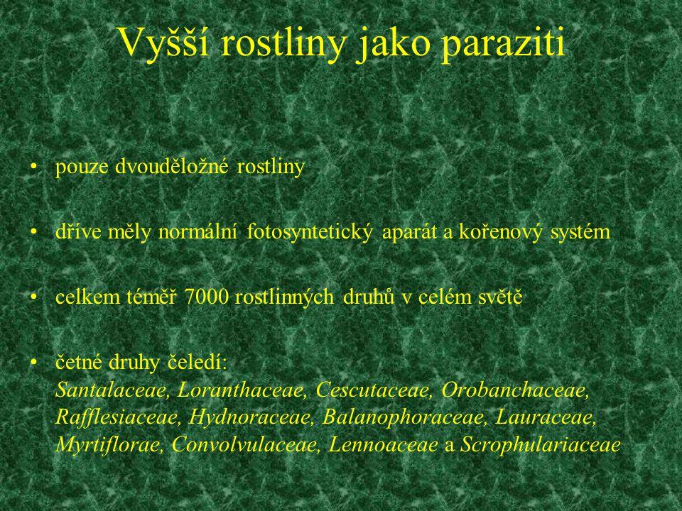 Ochmetovité (Loranthaceae) 1) ochmet evropský (Loranthus europaeus) - parazituje na dubech velmi příbuzné hemiparazitní druhy průnik haustoriem přes kůru do xylému napojení transportního systému na hostitelův vodu a živiny aktivně sají, organické látky si vytvářejí