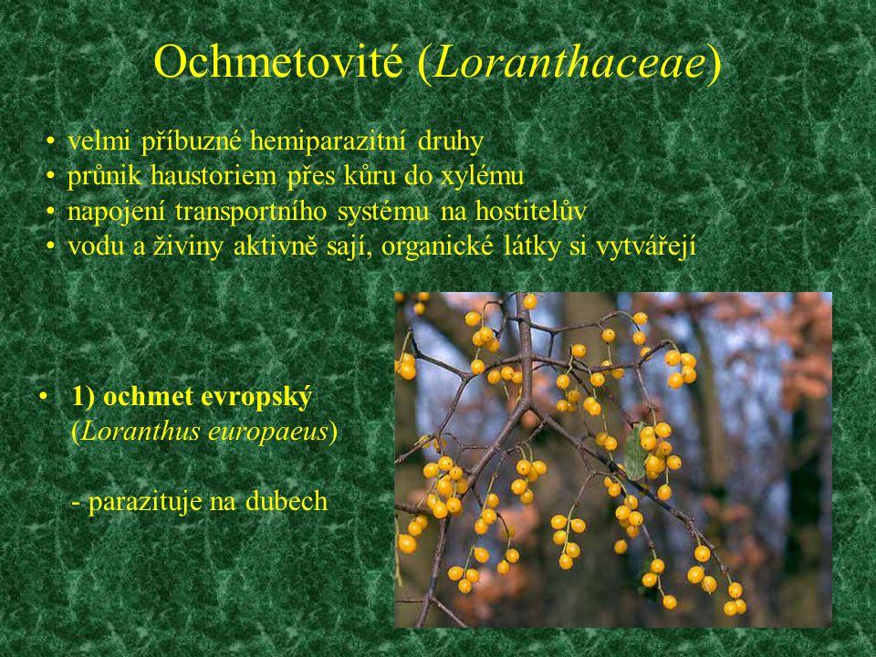 Ochmetovité (Loranthaceae) 1) ochmet evropský (Loranthus europaeus) - parazituje na dubech velmi příbuzné hemiparazitní druhy průnik haustoriem přes k