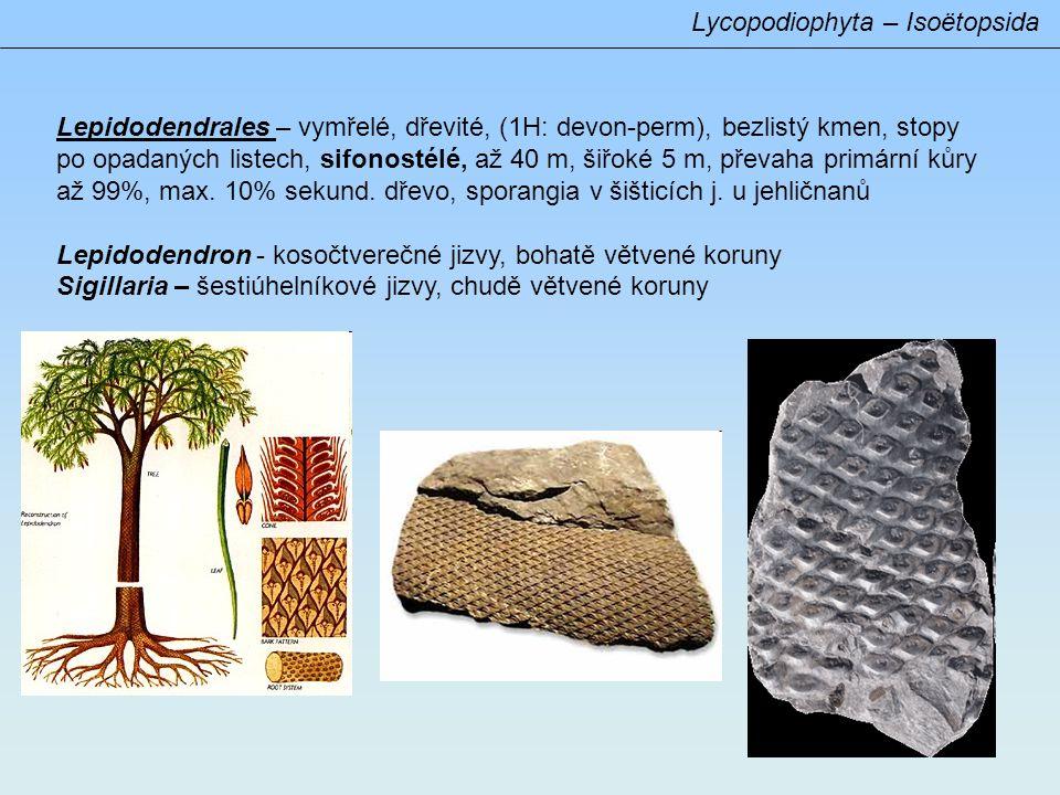 Lepidodendrales – vymřelé, dřevité, (1H: devon-perm), bezlistý kmen, stopy po opadaných listech, sifonostélé, až 40 m, šiřoké 5 m, převaha primární kůry až 99%, max.