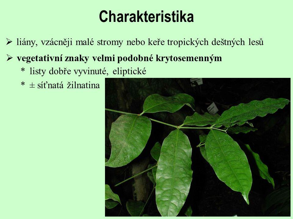  vegetativní znaky velmi podobné krytosemenným Charakteristika  liány, vzácněji malé stromy nebo keře tropických deštných lesů *listy dobře vyvinuté