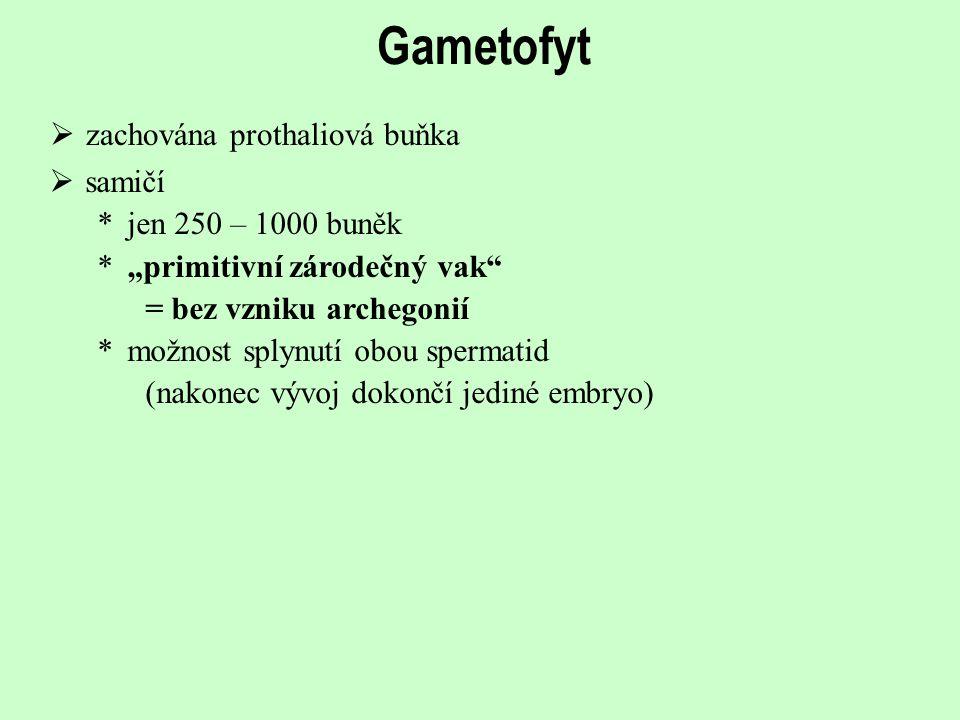 """Gametofyt  zachována prothaliová buňka  samičí *jen 250 – 1000 buněk *""""primitivní zárodečný vak"""" = bez vzniku archegonií *možnost splynutí obou sper"""