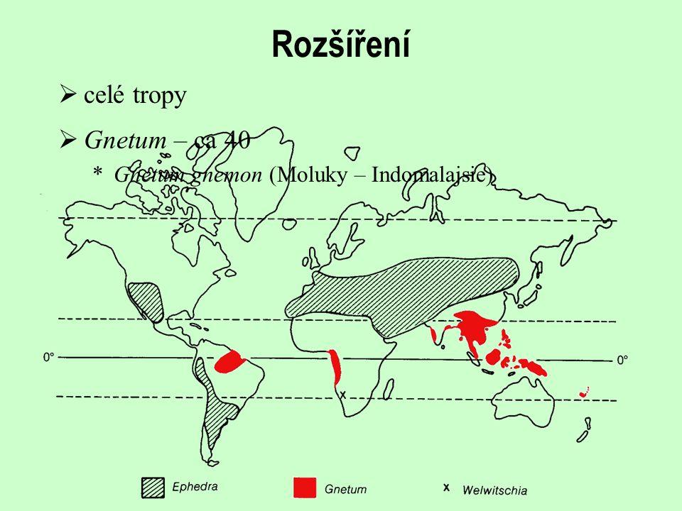 Rozšíření  celé tropy  Gnetum – ca 40 *Gnetum gnemon (Moluky – Indomalajsie)