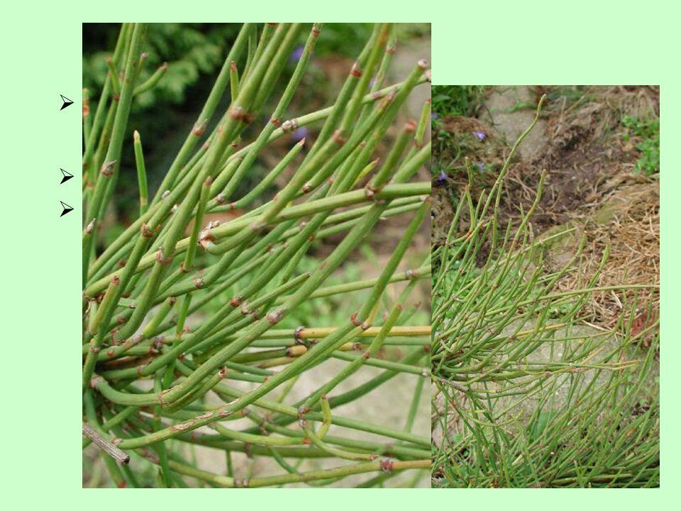  fotosyntetizující stonky  listy přeměněny na šupiny Charakteristika  prutovité, bohatě větvené rostliny