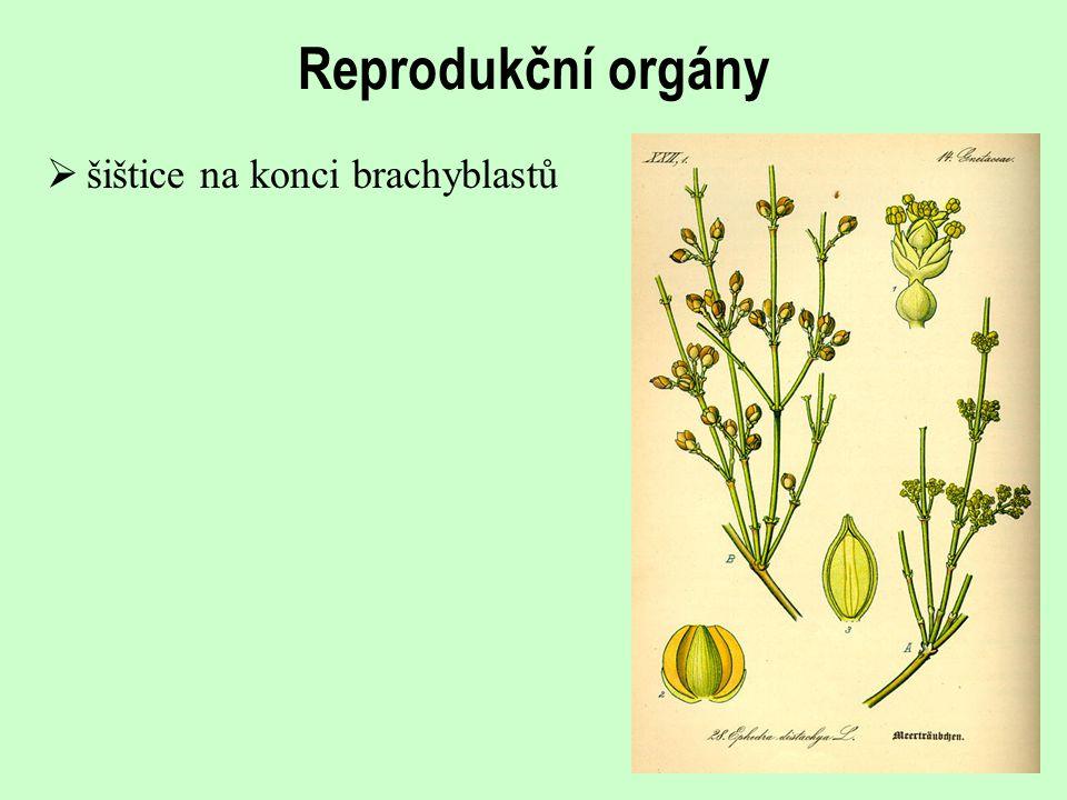 Reprodukční orgány  šištice na konci brachyblastů