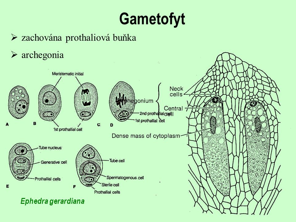 Gametofyt  zachována prothaliová buňka Ephedra gerardiana  archegonia