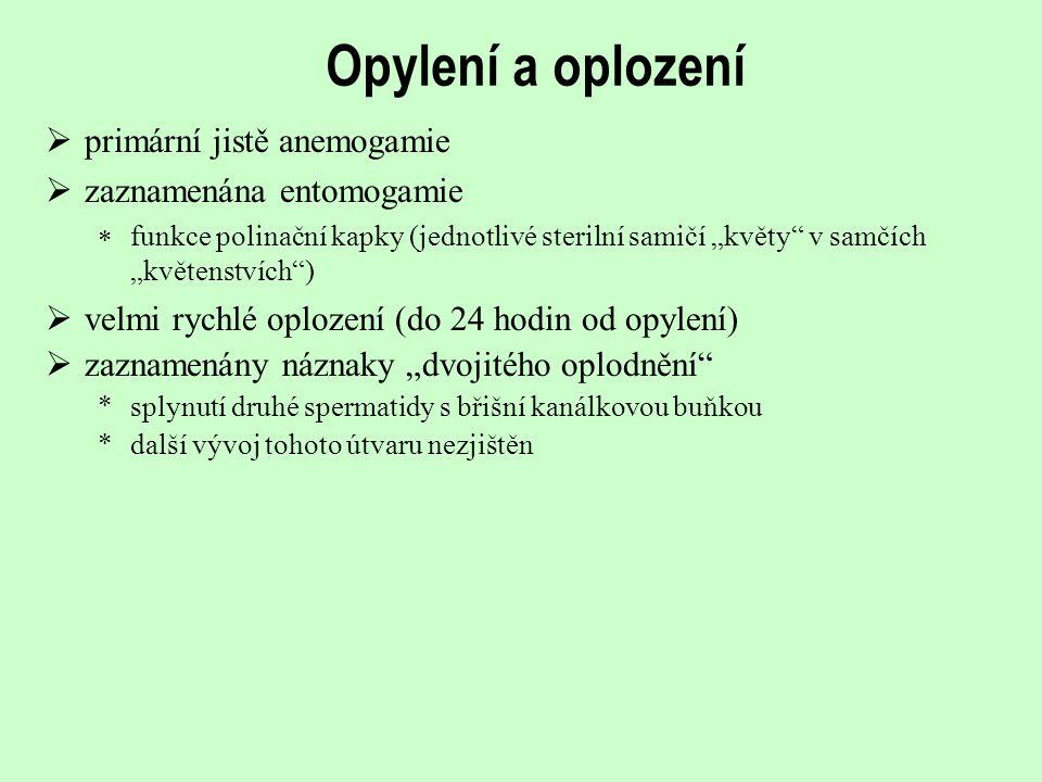 Gametofyt, oplození  již bez prothaliové buňky  primitivní zárodečný vak (= bez archegonií)