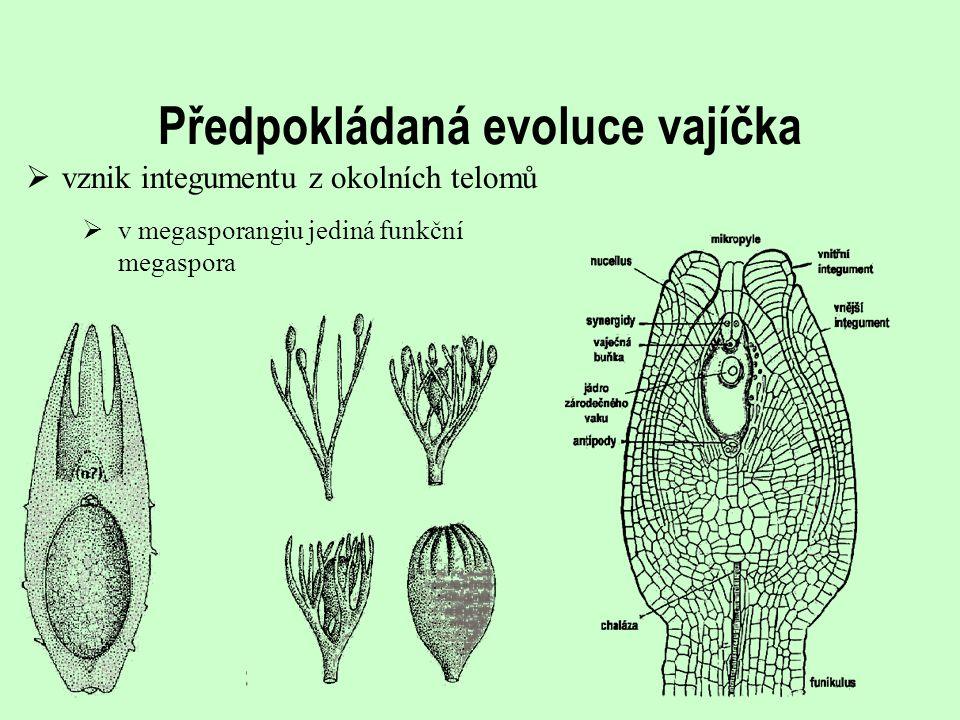 Předpokládaná evoluce vajíčka  v megasporangiu jediná funkční megaspora  vznik integumentu z okolních telomů