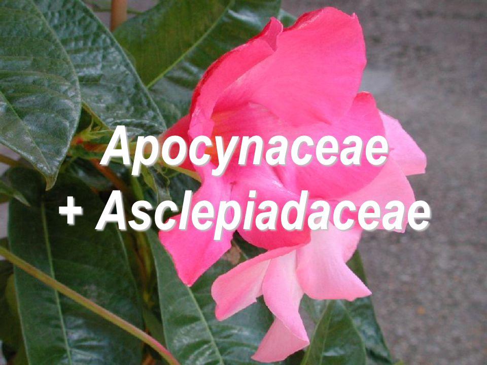 Apocynaceae + Asclepiadaceae