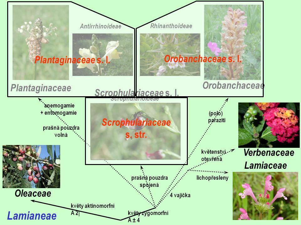 Plantaginaceae Orobanchaceae 4 vajíčka anemogamie paraziti lichopřesleny květenství otevřená Scrophulariaceae s.