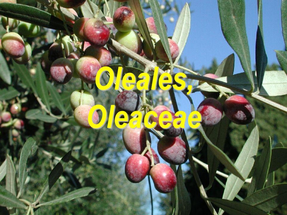 Oleales, Oleaceae