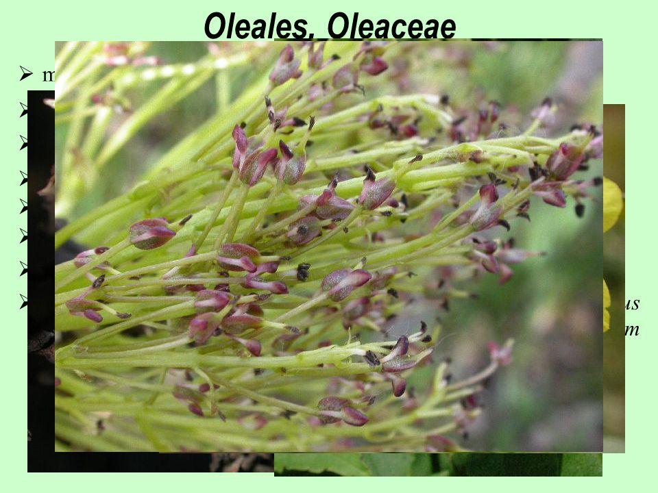  monotypický řád  květy ještě aktinomorfní; převážně 4 četné  tyčinky většinou jen 2, přirostlé ke koruně  entomogamie, druhotně též anemogamie  25/900; téměř kosmopolitní s výjimkou nejchladnějších oblastí  téměř výhradně dřeviny  plody tobolky nebo peckovice, nažky (Fraxinus)  Olea europaea (Středozemí; olej; veliké stáří exemplářů), Fraxinus excelsior, Syringa vulgaris (severozápadní Bulharsko), Jasminum nudiflorum