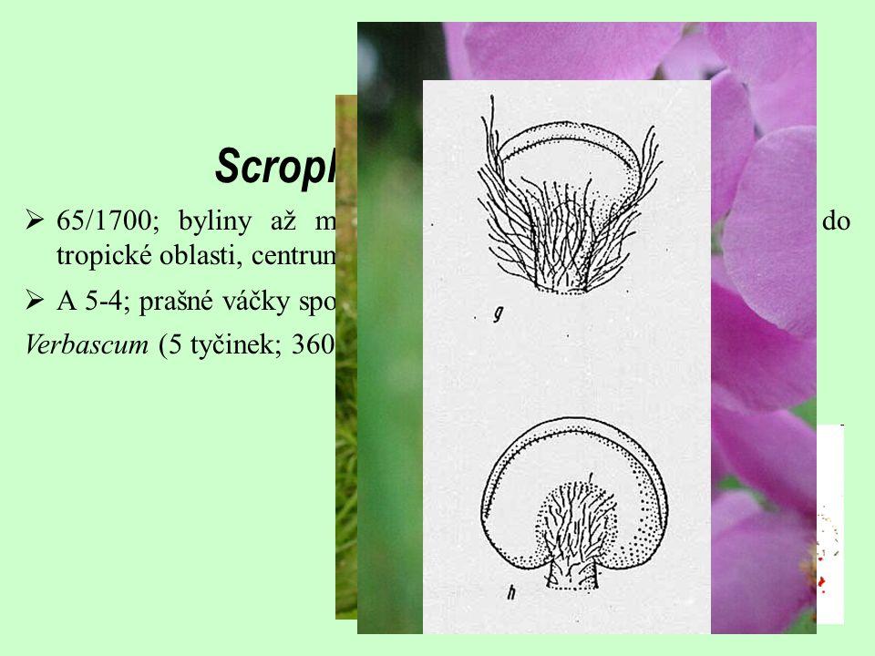  65/1700; byliny až malé keře; široký areál od temperátní do tropické oblasti, centrum diverzity v Africe Scrophulariaceae s.