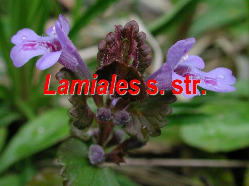Lamiales s. str.