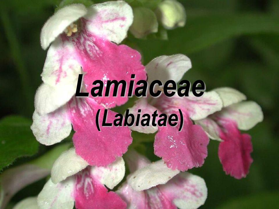 Lamiaceae ( Labiatae )