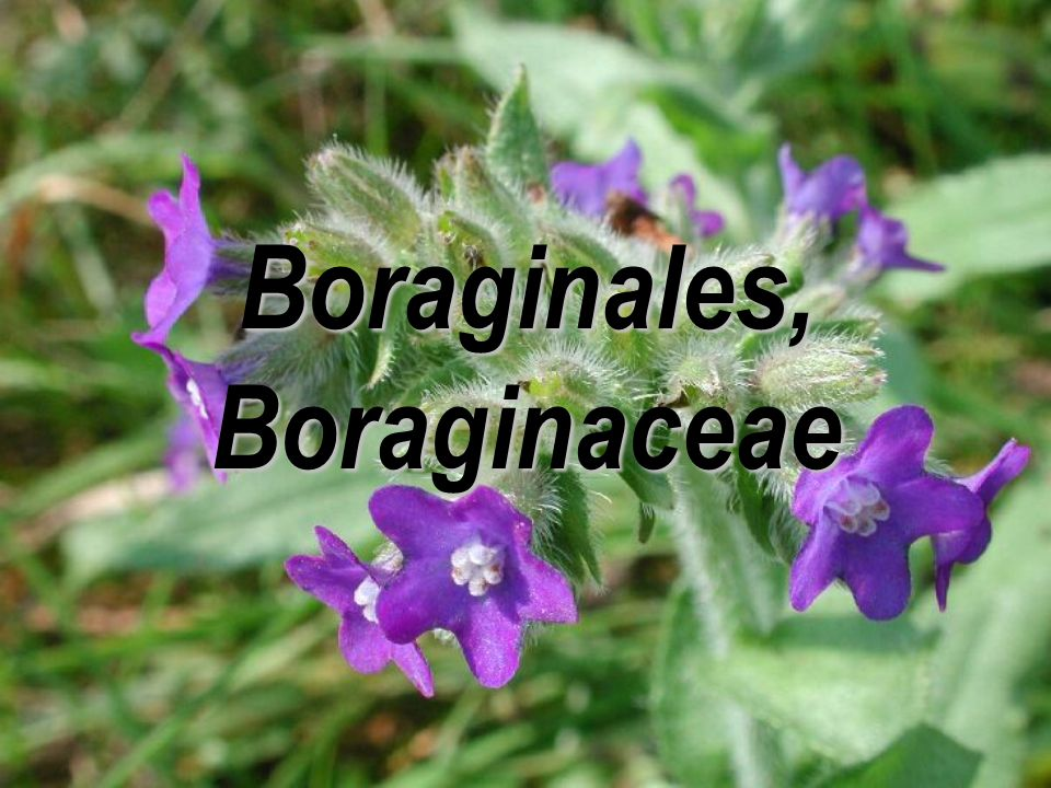 Boraginales, Boraginaceae