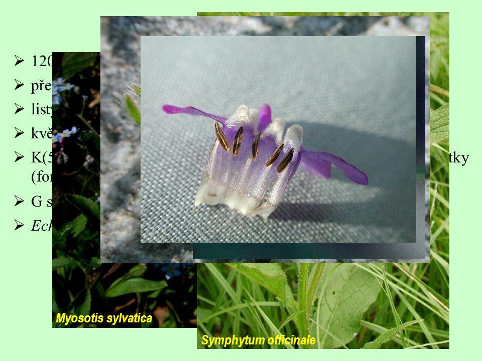  120/2000; ± kosmopolitní s koncentrací v Mediteránu  převážně byliny  listy střídavé, jednoduché, často štětinovitě chlupaté  květenství často dvoudílné vijany (boragoidy)  K(5) C(5), korunní trubka uvnitř často se šupinovitými výrůstky (fornices)  G se rozpadá za plodu na tvrdky  Echium vulgare, Myosotis sp., Pulmonaria sp.