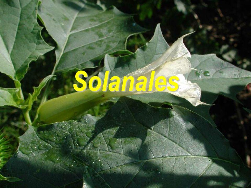 Solanales