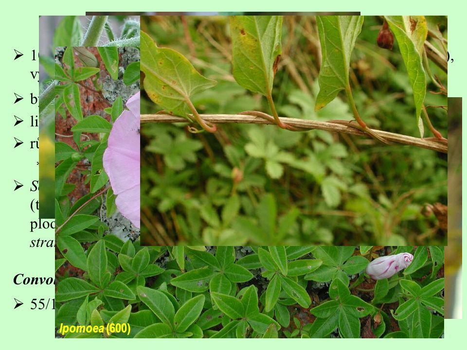 Solanales, Solanaceae  100/2600; téměř kosmopolitní (s výjimkou nejchladnějších oblastí), vývojové centrum ve střední a jižní Americe  různé typy alkaloidů – steroidní a tropanové alkaloidy  farmaceuticky významné  byliny až stromy, též liány  listy střídavé  Solanum (1200, S.
