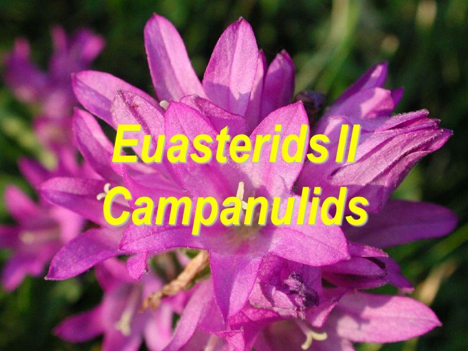 Euasterids II Campanulids