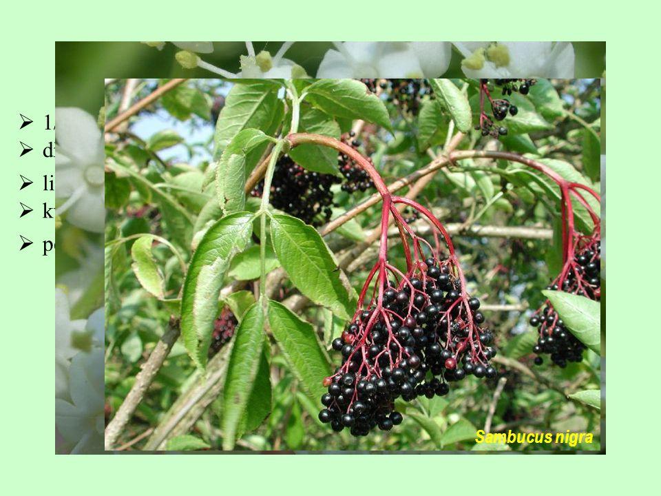 dřeviny  listy složené  květy aktinomorfní  peckovice (3 pecky)  1/40; široký areál, zejména severní polokoule Sambucaceae Sambucus nigra