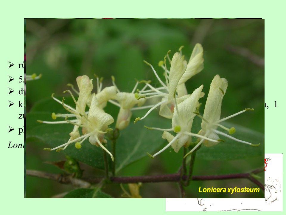 Caprifoliaceae  5/220; převážně severní mírný pás a hory tropů Asie  dřeviny  květy zřetelně zygomorfní; 4 petaly srostlé do horního pysku, 1 zůstá
