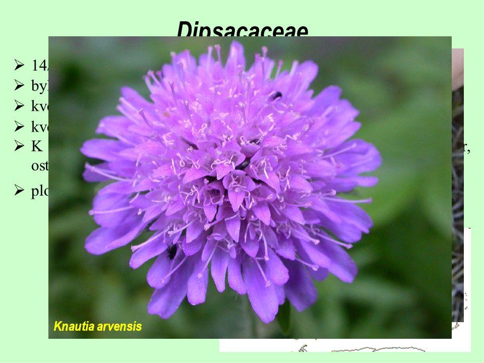 Dipsacaceae  14/150; především mírný pás Eurasie a střední a jižní Afrika  byliny  květenství strboulovitá, pseudanthiového charakteru; zákrovy  k