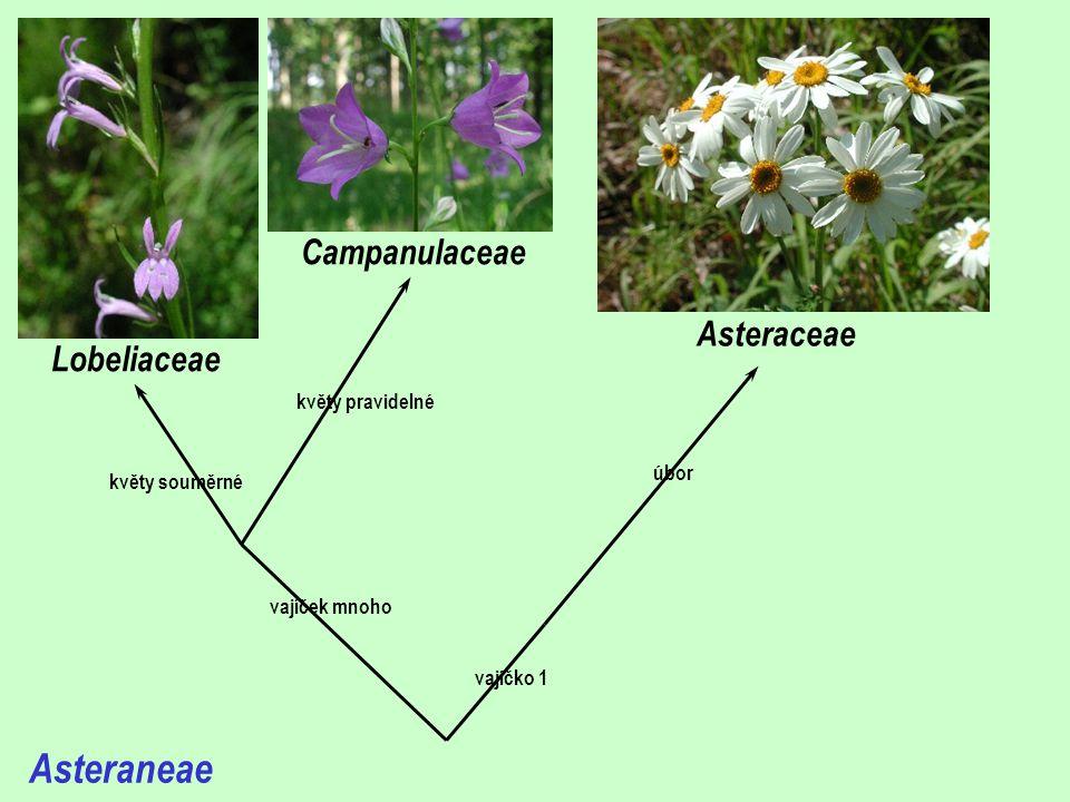Asteraneae vajíček mnoho vajíčko 1 květy pravidelné květy souměrné Lobeliaceae Campanulaceae Asteraceae úbor
