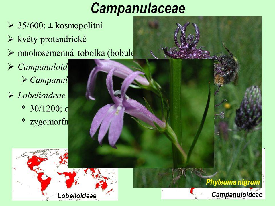Campanuloideae Lobelioideae  Lobelioideae *30/1200; centrum diverzity zejména v Americe a v tropech *zygomorfní květy Campanulaceae  Campanuloideae