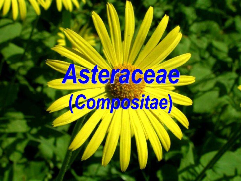Asteraceae ( Compositae )