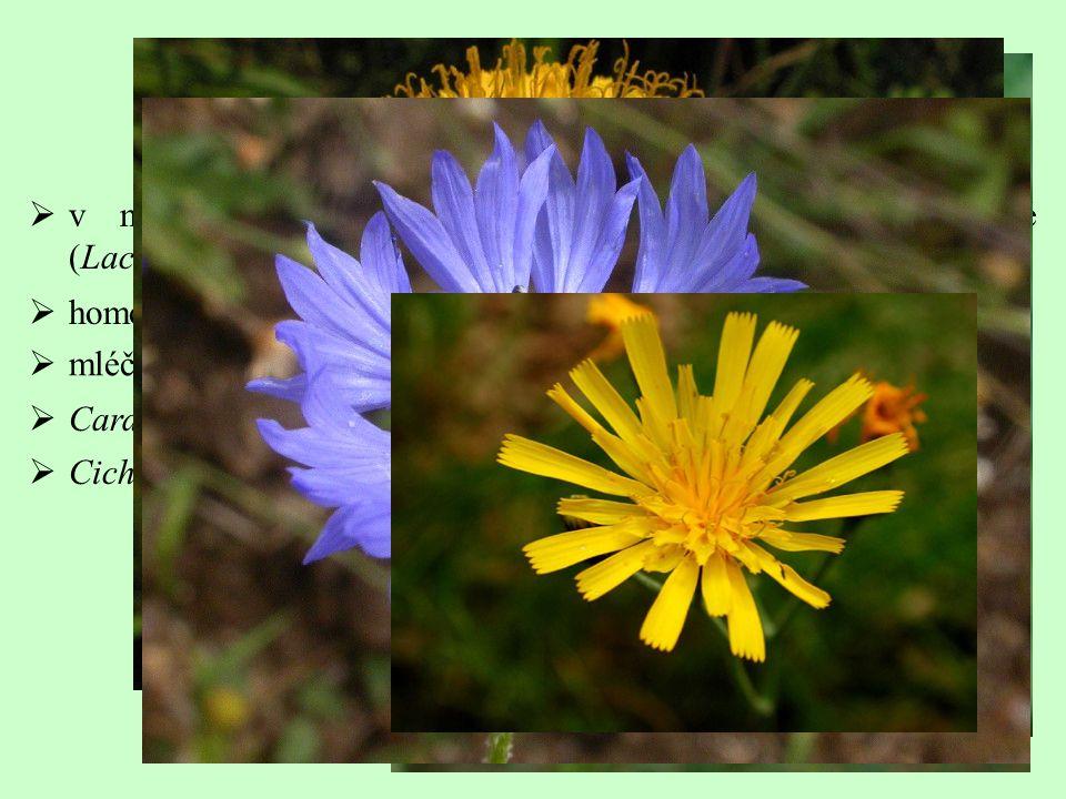  mléčnice  Carduus (90), Cirsium (270), Arctium (11), Centaurea (600),  Cichorium (7), Hieracium (500), Taraxacum (?), Leontodon (50)  v minulosti