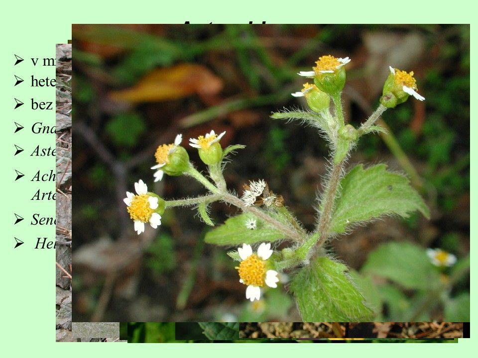  Achillea (115), Chamomilla + Matricaria (7), Leucanthemum (33), Artemisia (400)  Senecio (1500), Petasites (20), Tussilago (1) Asteroideae  hetero