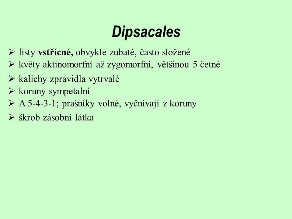 Dipsacales  listy vstřícné, obvykle zubaté, často složené  květy aktinomorfní až zygomorfní, většinou 5 četné  koruny sympetalní  A 5-4-3-1; prašn