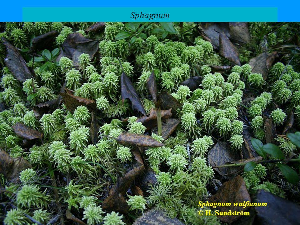 Sphagnum Sphagnum palustre © Carl Farmer Sphagnum capillifolium © Biopix: A Neumann Sphagnum fallax © K. Peters Sphagnum subsecundum © M. Lüth Sphagnu
