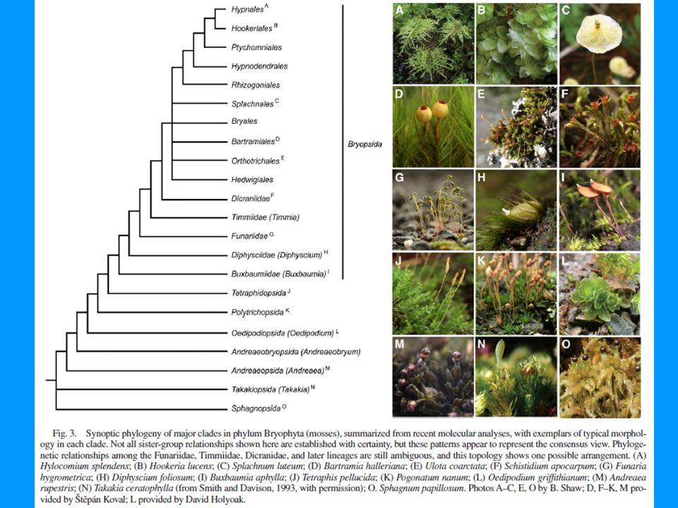 Polytrichaceae: Bartramiopsis, Lyellia