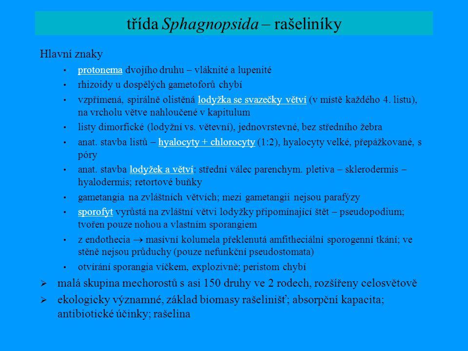 třída Sphagnopsida – rašeliníky Hlavní znaky protonema dvojího druhu – vláknité a lupenité protonema rhizoidy u dospělých gametoforů chybí vzpřímená,