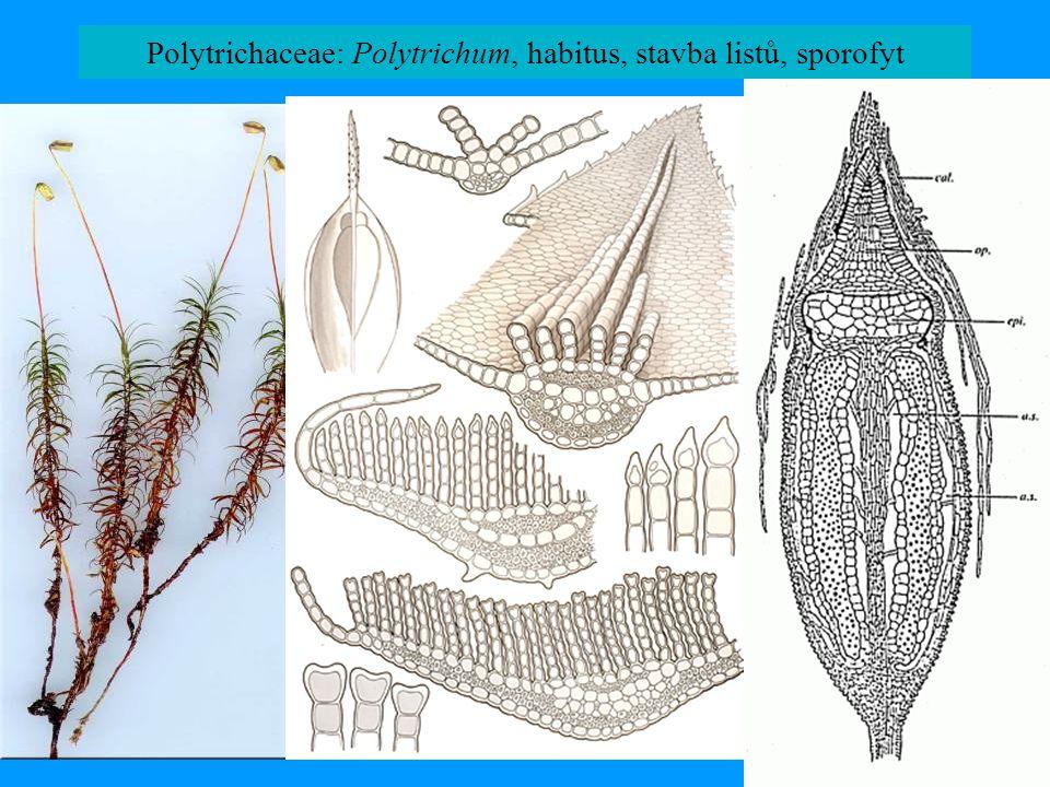 Polytrichaceae: Polytrichum, habitus, stavba listů, sporofyt